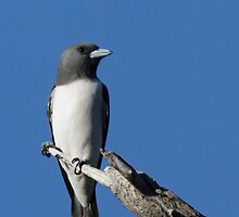 White-breasted Woodswallow by Jeremy Weiss