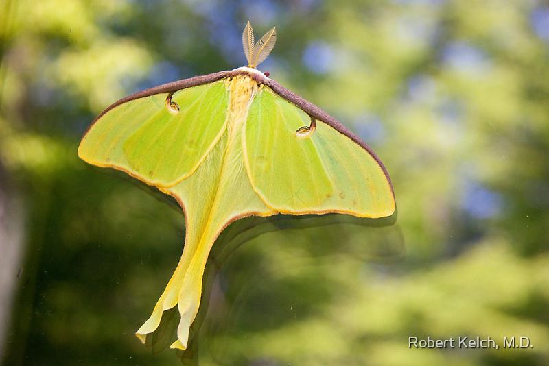 Luna moth by Robert Kelch, M.D.