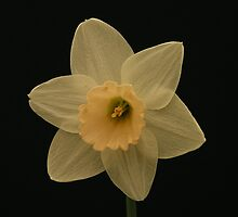 Tender Daffodil by Kat Simmons