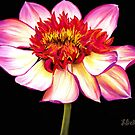 """Satin Flames,"" Pastel on Ampersand Pastelbord, 10"" x 8"" - Bright, Striking, Pink, Vibrant Dahlia Flower by Laura Bell"