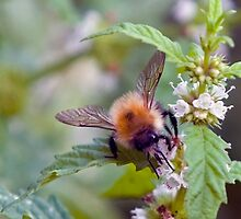 Bee On Flower 0004 by mike1242