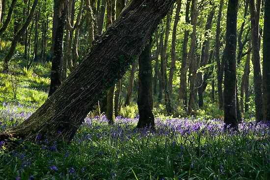 Courtmacsherry Bluebells by Adam Webb