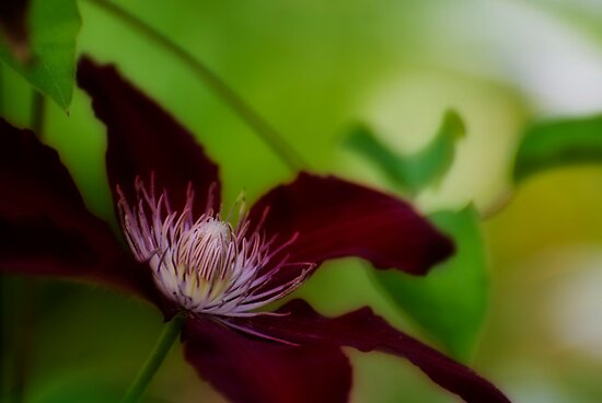 Crimson Clematis by Robin Webster