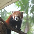 Red Panda Staring by Redpopy