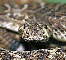 Western Diamondback Rattlesnake by Katherine Haluska