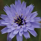 Purple Star Burst by Sally J Hunter