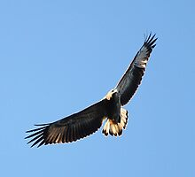 Wedge-tailed Eagle by EnviroKey