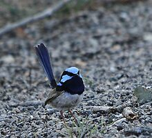 Superb Blue Fairy-wren by EnviroKey
