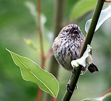 Striated Thornbill by EnviroKey