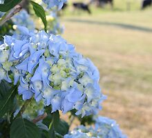 The Hydrangea and The Heifers by katw0man