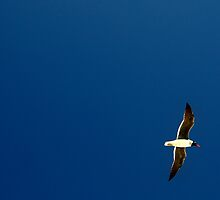 Black headed seabird by Jip van Kuijk