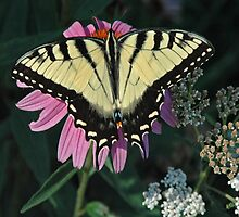 Coneflower and Tiger Swallowtail by Bob  Wentzel