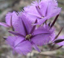 Common Fringe Lily by EnviroKey