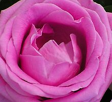 pink rose by Deb Gibbons
