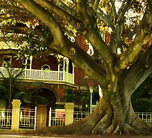 Murray st Morton Bay Fig by strykermeyer