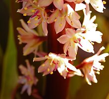 Eucomis I by photojeanic