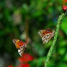 two orange, black butterflies on and near Porter Weed  by michaelBstone
