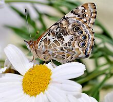 Dasies and A Painted Lady  by Judy Grant