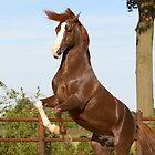 stallion by avdw