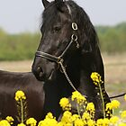 Frisian horse by avdw