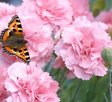 Pinks and the Painted Lady by missmoneypenny