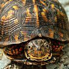 Box Turtle by mentaldragon