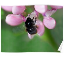 Red tailed bumble bee Poster