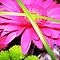 **Gerberas**   for **Gorgeous Flower Cards** challenge