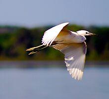Egret In flight at Lake Beauclair Orange Co. FL by michaelBstone
