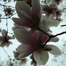 Magnolia Blooms by BLAMB