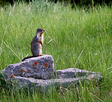 Richardson Ground Squirrel  by Al Bourassa