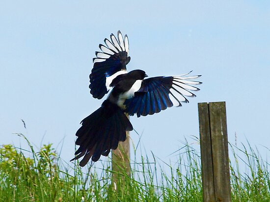 Landing Magpie by Michael  Addison
