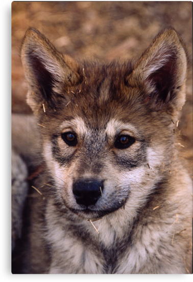 Alaskan Timber Wolf Cub by Alexa Pereira