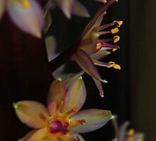 Eucomis VII by photojeanic