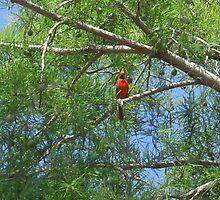 Cardinal in the Cedar Tree - Ladybird Lake by Navigator