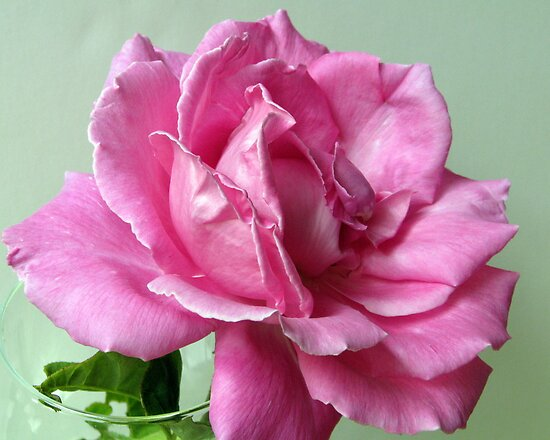 Curly Pink Rose by Gloria Abbey