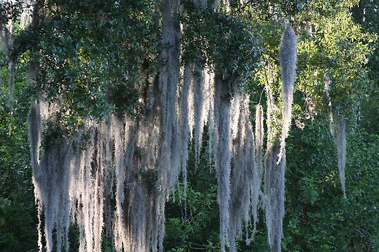 Spanish Moss by June Holbrook