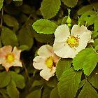 Alberta Wild Rose by Jena Ferguson