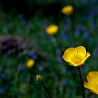 Buttercup Glow by John Griggs