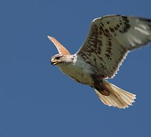 Ferruginous Hawk by Jillian Johnston