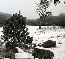 Mount Donna Buang Snow Gum by WendyJC