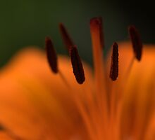 Tiger lilly by Paul Revans