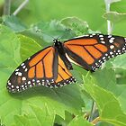 Monarch Butterfly by deb cole