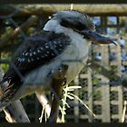 Kookaburra sits in... by tarynb