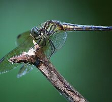 Dragonfly by Paulette1021
