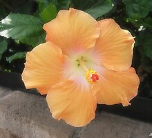 Peach Hibiscus 2 by Christopher Johnson
