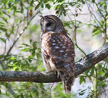 Barred Owl in the Tree by Paulette1021