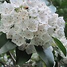 Mountain Laurel by teresa731