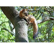 Fox lying in a Tree Photographic Print