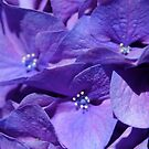 Hydrangea at its height of color by artistjanebush